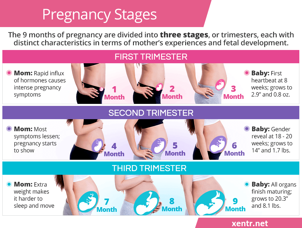 pregnancy-stages-trimesters-png.3706